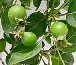 초특가~애기꽃사과나무(주렁주렁 열매)|