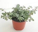 [꽃대통령]타라 공기정화식물|