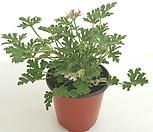 [꽃대통령]핑크구문초 모기퇴치식물|