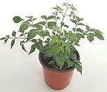 [꽃대통령]해피트리/행복수/공기정화식물(소품)|