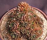 묵은푸미라(40두이상) Echeveria pumila