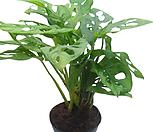 몬스테라  사이즈 : 직경 10cm 정도 크기의 화분에 심어져 있습니다.  몬스테라는 열대 아메리카가 원산인 반덩굴성 관엽식물로 자생지에서는 어린이 팔만한 두터운 줄기가 나무를 타고 오르고 뿌리를 많이 늘어뜨리고 있는 모습으로 그 모습이 괴물같다하여 이름붙여진 식물입니다. 몬스테라는 강한 빛에서는 잎이 상하므로 또한 어두운 곳에서는 생육에 장애가 생기므로 봄, 가을에는 충분하게 해를 볼수있도록 하여주고 한 여름에는 차광을 하여주어야 건강하게 키우실 수 |