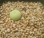 칼큘러스 반질리2207|Conophytum vanzylii
