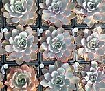 때깔좋은 헤라(랜덤)|Echeveria Hera