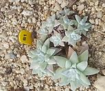화이트그리니(10두)|Dudleya White gnoma(White greenii / White sprite)