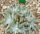 화이트그리니(7두)|Dudleya White gnoma(White greenii / White sprite)