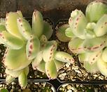 웅동자금(랜덤)|Cotyledon tomentosa ssptomentosa