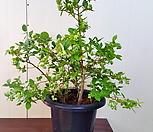 식용 블루베리  아로니아  머루포도  포도나무|