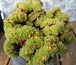 희면경철화 묵은 대품|Aeonium tabuliforme hyb