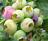 식용 블루베리  머루포도  포도나무|