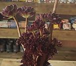 흑법사 철화.|Aeonium arboreum var. atropurpureum