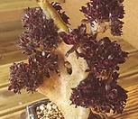 흑법사철화|Aeonium arboreum var. atropurpureum