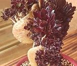 흑법사철화..|Aeonium arboreum var. atropurpureum