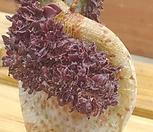 흑법사철화(201706)|Aeonium arboreum var. atropurpureum