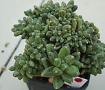 (6月)천대전송철화98|Pachyphytum compactum