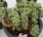 (6月)천대전송철화27|Pachyphytum compactum