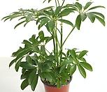 [꽃대통령]홍콩야자 공기정화식물|