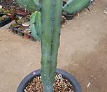 용신목96|Myrtillocactus geometrizans Cons