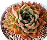 플로리디티 Echeveria Floridity 320 