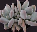 후레뉴1 Pachyphtum cv Frevel