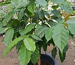 커피나무(화분포함80cm)|
