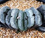 옥선 352 Haworthia truncata