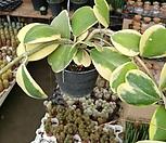 공중식물 하트호야|Hoya carnosa
