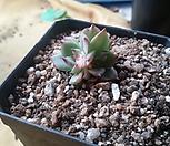 치와와금[3두|Eeveria chihuahuaensis