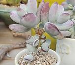 방울복랑2 Cotyledon orbiculata cv