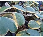 하트호야|Hoya carnosa