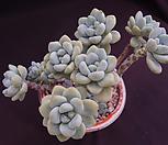 라울1(목대) Sedum Clavatum
