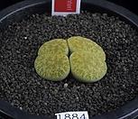 XP1884-LT. lesliei v. venteri [Ventergreen]녹변천옥(황화)2두|