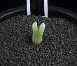 XP1892-C.devium ssp.stiriiferum  데이빔 스트리페룸|