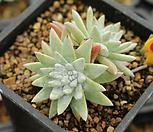 화이트그리니 170716S|Dudleya White gnoma(White greenii / White sprite)