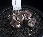 XP1897-C. pellucidum ssp. cupreatum  쿠프레아툼 군생|