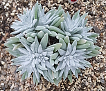 화이트그리니(14두분지중,자연군생)72|Dudleya White gnoma(White greenii / White sprite)