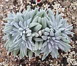 화이트그리니(13두분지중,자연군생)90|Dudleya White gnoma(White greenii / White sprite)