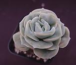 러블리로즈16-3 Lovely Rose