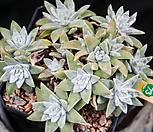 화이트그리니 73 (묵은아이)|Dudleya White gnoma(White greenii / White sprite)