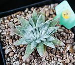 화이트그리니 2|Dudleya White gnoma(White greenii / White sprite)