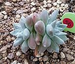 화이트그리니7172|Dudleya White gnoma(White greenii / White sprite)