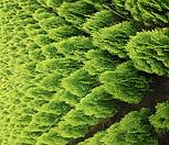 측백나무 H1.5|