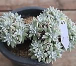 화이트그리니(32두)|Dudleya White gnoma(White greenii / White sprite)