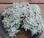 화이트그리니 (29두)자연군생|Dudleya White gnoma(White greenii / White sprite)