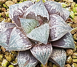 픽타실생|Haworthia picta