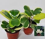 하트무늬호야,하트호야,꽃피는호야|Hoya carnosa