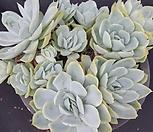 라즈베리아이스3837|Echeveria Rasberry Ice