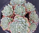 로이드3961|Echeveria minima hyb Roid