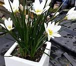 제피란서스(칸디나,흰색) 구근 50구 1셑|
