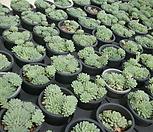 글로블로사|Echeveria globulosa